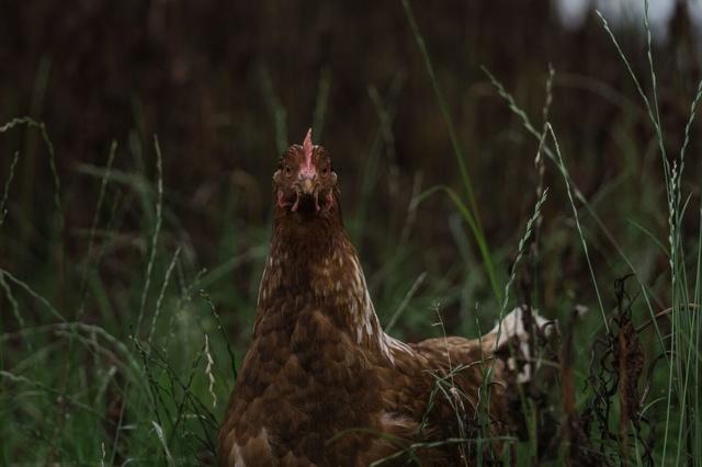 Frische Eier vom Hof
