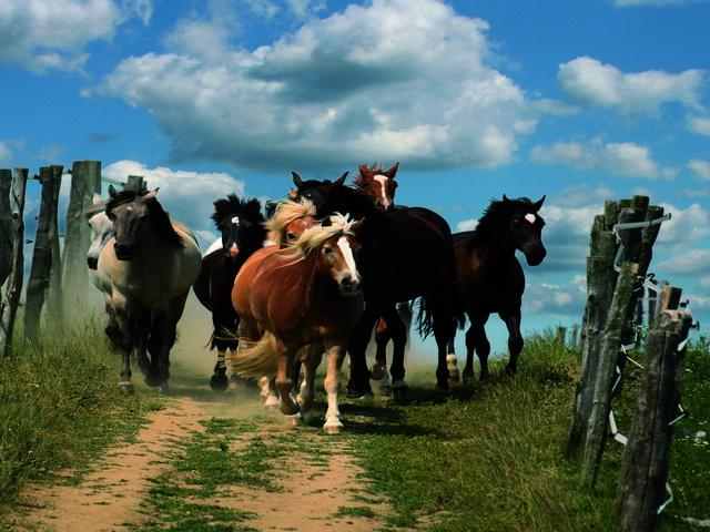 unsere Pferde auf dem Weg zur Koppel