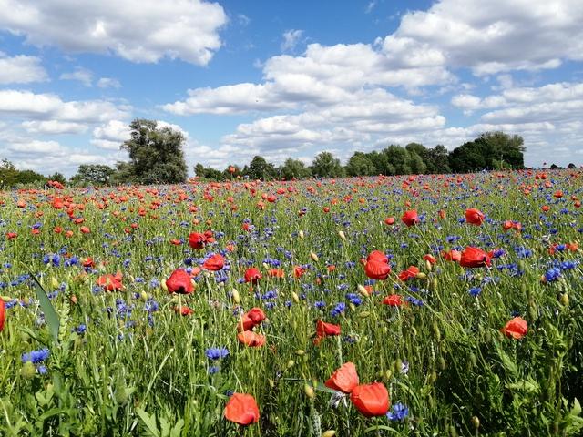 Blumenfeld in der Umgebung