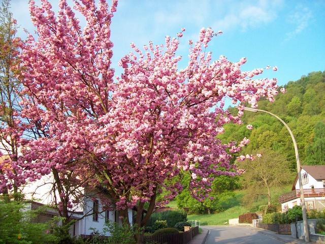 unsere jap. Kirsche im Vorgarten